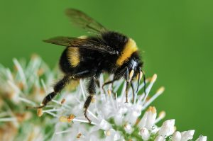 The picture shows a bumblebee sitting on a thistle blossom. With regard to the title of the article, the caption ironically asks how it might have got there.