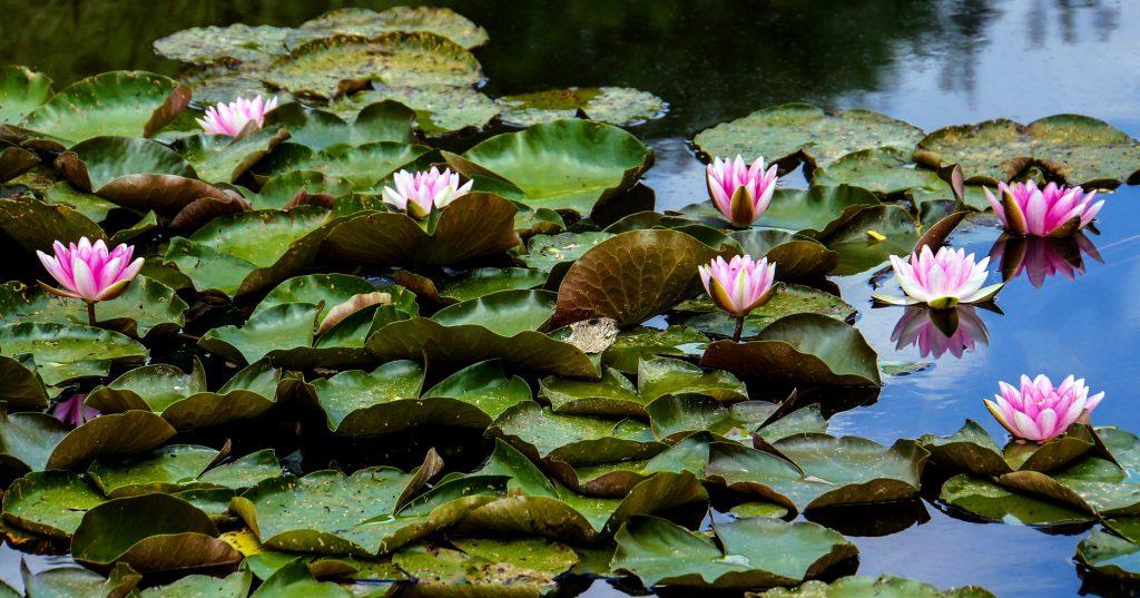 Das Bild zeigt einen teilweise von Wasserrosen bedeckten Teich und illustriert damit die nachfolgende, den Artikel einleitende Frage.